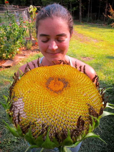 Mud's Huge Sunflower