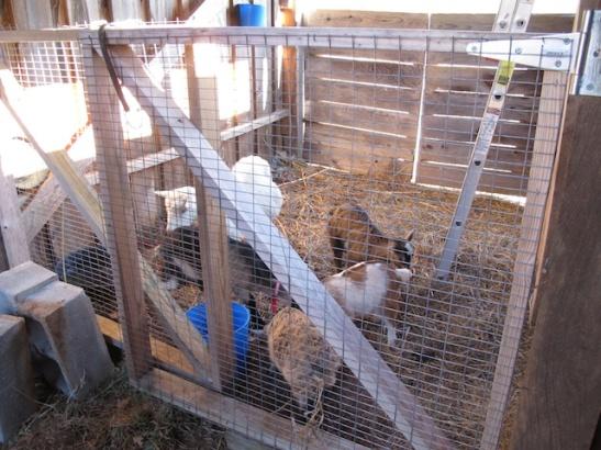 Goaties in the barn. Finally.