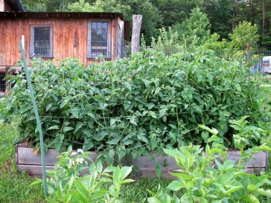 Tomato Hedge